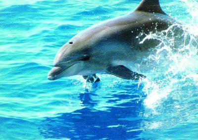 delfine ver delfines en tenerife avistamiento de ballenas